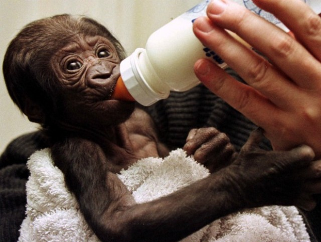 Gorilla babies are kidnapped to be sold in the illegal pet trade.