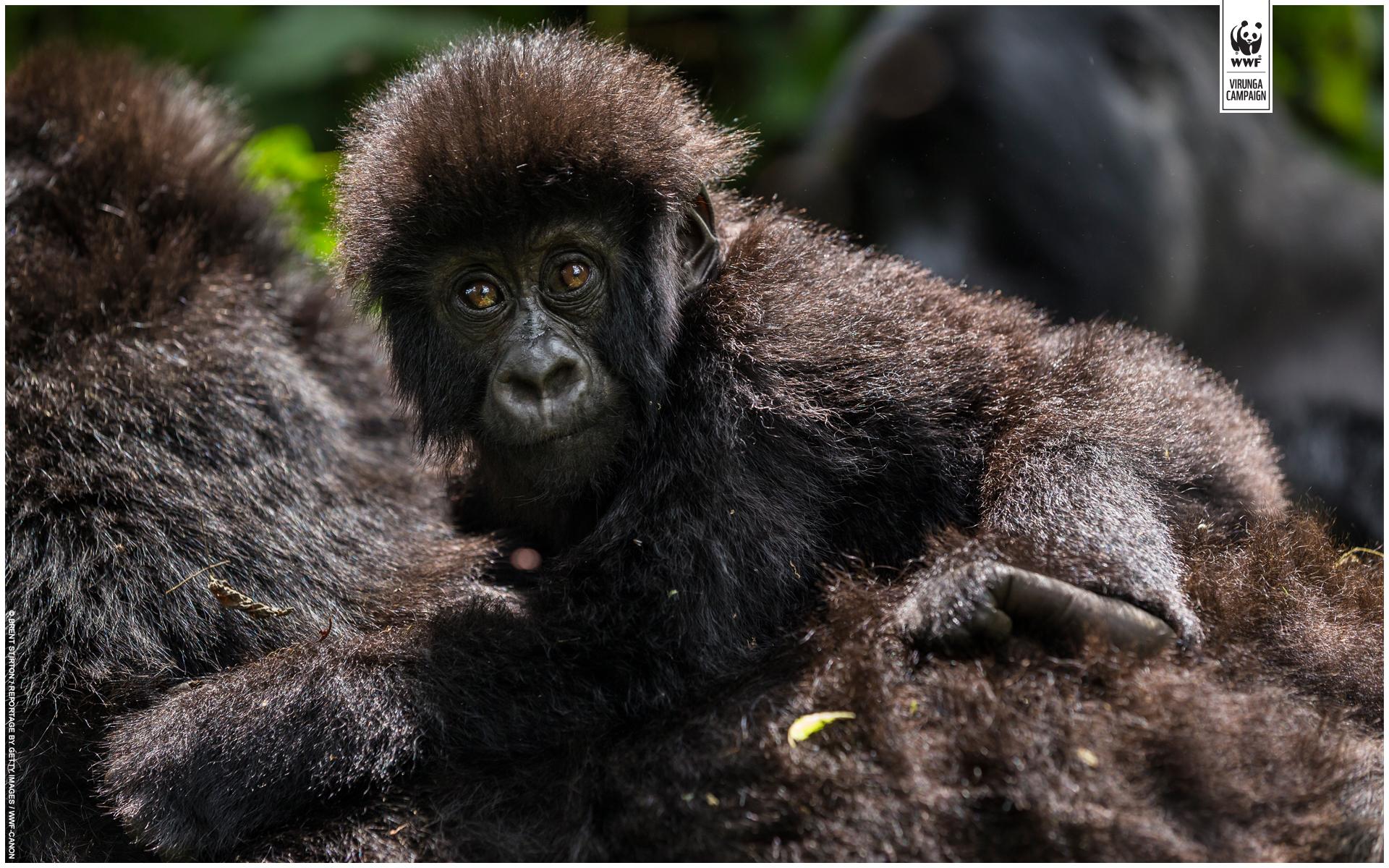 Cute baby mountain gorillas
