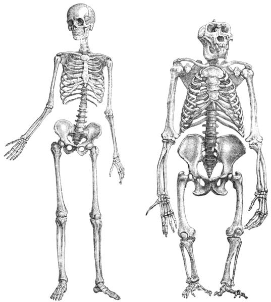 Primatenskelett-drawing-transparent