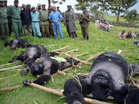 Officials of Virunga National Park in the Democratic Republic of Congo  with the bodies of four mountain gorillas illegally slaughtered. This photo is from 2007.